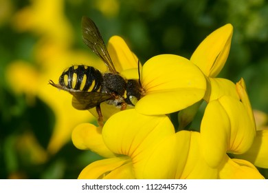 European Wool Carder Bee collecting nectar from a yellow Birdsfoot Trefoil flower. Todmorden Mills, Toronto, Ontario, Canada.