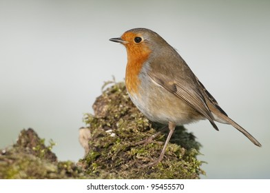 Europeann Robin (Erithacus rubecula) perched on moss covered log