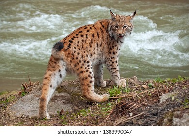 Eursian lynx near water stream looking behind itself. Endangered mammal predator persecuted in natural environment near river.