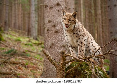 Eursian lynx standing on a windthrow in autmn forest with blurred background. Endangered mammal predator on uprooted broken tree.