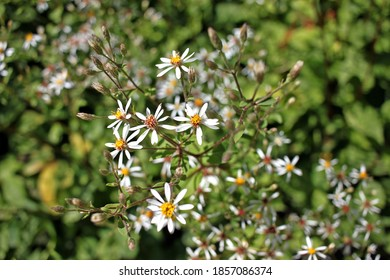 Eurybia macrophylla, commonly called large-leaved aster or big-leaved aster, is noted for its large basal leaves. Tender, young leaves may be cooked and eaten as greens.