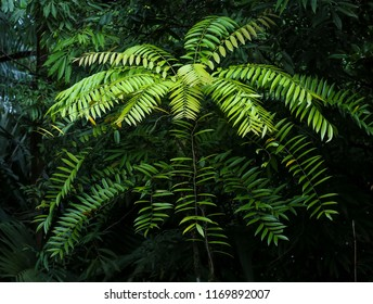 Eurycoma Longifolia Jack is the herb name for what is more commonly known as Tongkat Ali, Pasak Bumi, Malaysian Ginseng, or Longjack. Tropical rainforest medicinal plant found in South East Asia.