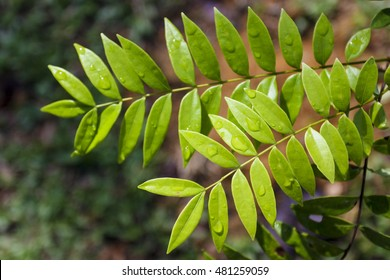 Eurycoma Longifolia Jack is the herb name for what is more commonly known as Tongkat Ali, Pasak Bumi, Malaysian Ginseng, or Longjack.