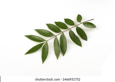 Eurycoma longifolia Jack or Tongkat Ali, green leaves on white background.