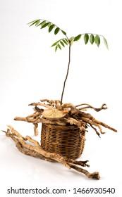 Eurycoma longifolia Jack or Tongkat Ali,roots ,tree and powder on white background.