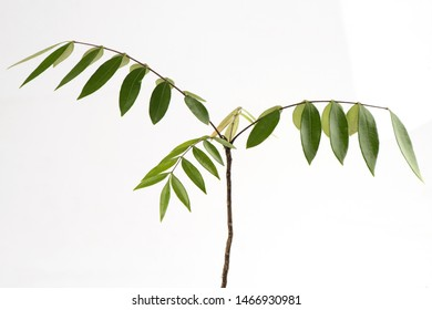 Eurycoma longifolia Jack or Tongkat Ali,roots ,tree on white background.