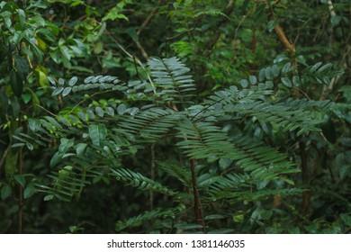Eurycoma longifolia Simaroubaceae tongkat