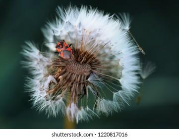 Eurydema ornata bug on a dandelion blowball
