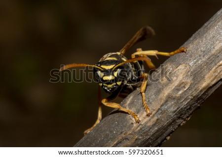 Bộ sưu tập côn trùng 2 - Page 13 Eusocial-paper-wasp-polistes-nimpha-450w-597320651