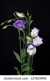 Eustoma flower with leafs isolated on black  (Lisianthus)