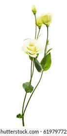 eustoma flower on a white background