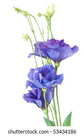 Eustoma flowers isolated on white