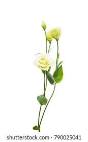 eustoma flowers isolated on white background