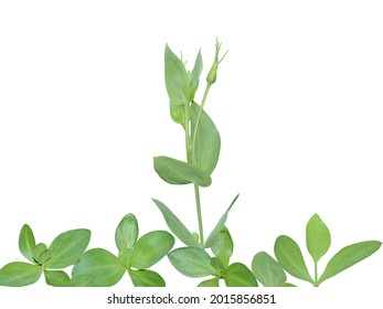 Eustoma or lisianthus plants during vegetative and budding stages. Foliage and bud isolated on white for postcard design - Shutterstock ID 2015856851