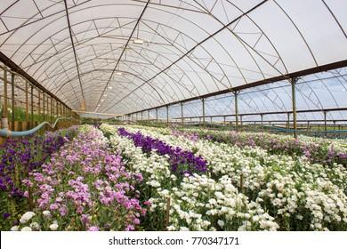 Eustoma (prairie gentian / lisianthus) flower plantation.