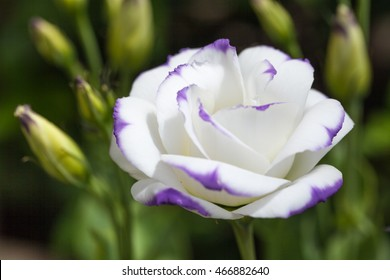 Eustoma russellianum. In the spring, the beautiful white of Eustoma Balloon flower. Close-Up of flowering Lisianthus or Eustoma plants in a large flower nursery.