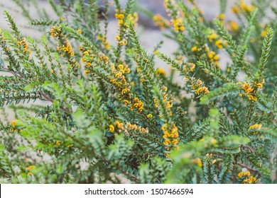 eutaxia obovata (also called egg and bacon plant) with green spiky leaves and yellow flowers, shot at shallow depth of field
