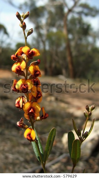Eutaxia Obovata - commonly known as Egg and Bacon flower - Native to South Western Australia