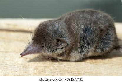 Eutheria, Shrew, Soricidae