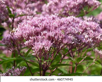 Eutrochium fistulosum (Eupatorium fistulosum), also called hollow Joe-Pye weed, trumpetweed, or purple thoroughwort, is a North American flowering plant in the sunflower family.