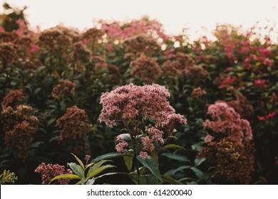 Eutrochium Maculatum, North American Flower, Flowers in Nature