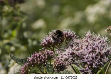 Eutrochium maculatum (Spotted Joe-Pye Weed)