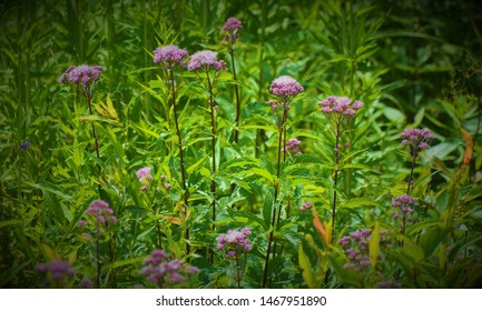 Eutrochium is a North American genus of herbaceous flowering plants in the sunflower family. They are commonly referred to as Joe-Pye weeds.