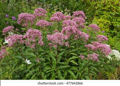 Eutrochium purpureum, commonly called Joe Pye weed.