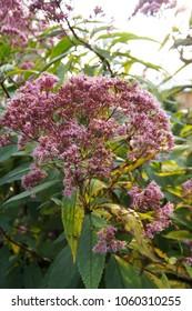 Eutrochium purpureum or kidney-root or sweetscented joe pye weed or gravel root or trumpet weed pink flowers with green