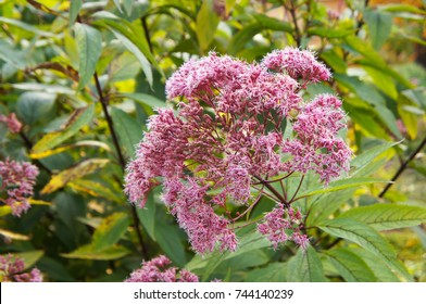 Eutrochium purpureum or  kidney-root or sweetscented joe pye weed or gravel root or trumpet weed purple flowers with green