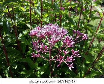 Eutrochium purpureum, (purple Joe-Pye weed, kidney-root, sweetscented joe pye weed, sweet Joe-Pye weed, gravel root, or trumpet weed), is an herbaceous perennial plant in the family Asteraceae.