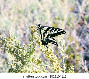 Even in February, in the Topanga Canyon, you can meet Swallowtail butterfly. LA, CA.