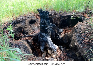 Even the roots have burned, leaving holes in the ground where they once held the tree firmly and provided nourishment. A pine tree and its roots burned to the ground in a wild forest fire.