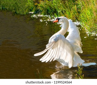 Evening before sunset swan, saw an opponent and flapping his wings while preparing to defend