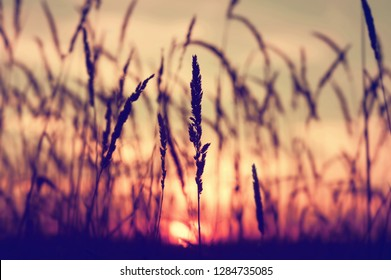 Evening bright landscape with tall grass against the backdrop of the setting sun. Reed plant at sunset