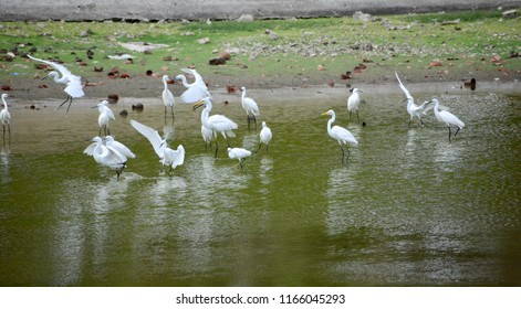 An evening by the pond, with a flock of egrets: little egrets, intermediate egrets, and great egrets, in their breeding plumage.