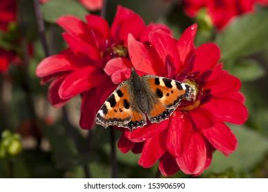 evening enjoyment, a butterfly resting on a flower dahlia