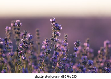 Evening in a lavender field