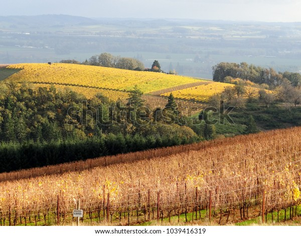 Evening light adds glow to a hill of golden vines behind a late fall Oregon vineyard nearly bare of leaves but soft in the sun glow, evergreens between the tones of gold.