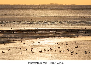 Evening light and low tide, flocks of waders, The Wash, Norfolk, England, UK.