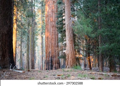 Evening light on giant Sequoia redwood trees in Sequoia national park, Sierra Nevada, California