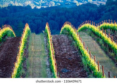 Evening light tips leaves on rows of grape vines, highlighting the rise over a hill and the red stakes of the trellised vines in an Oregon vineyard.