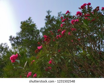Evening at the Mljet island, Croatia, mediterranean green plants with bright pink flowers and light blue sky without clouds during the sunset