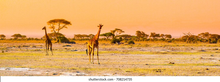 Evening panorama of savanna with giraffes, Amboseli National Park, Kenya, Africa.