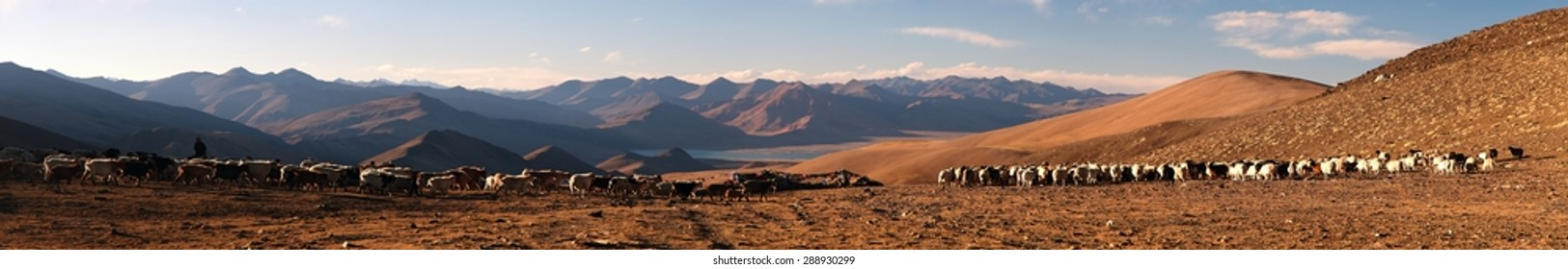 Evening panoramic view of goats and sheeps herd in Indian Himalayas, Rupshu valley near Moriri Lake, Ladakh, Jammu and Kashmir, India