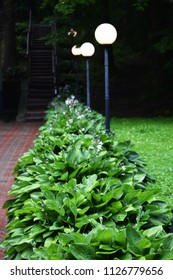 Evening park with beautiful blooming flowers of Hosta.