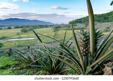 evening pineapple field