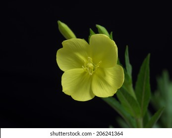 Evening primrose blooming at night from the evening