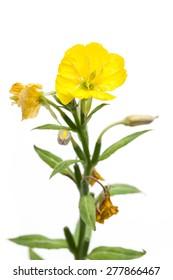 Evening primrose (Oenothera biennis) before white