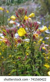 evening primrose (Oenothera biennis) on a meadow.